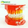 ENOVO頤諾兒童乳牙發育牙列模型兒童口腔教學展示牙科齒科模型