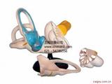 内耳解剖放大模型,内耳模型