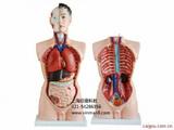 男性人体躯干模型