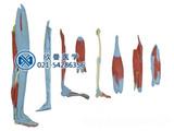 下肢层次解剖模型