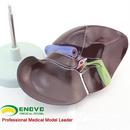 ENOVO颐诺医学人体肝脏模型肝解剖模型肝门胆囊胆管结构消化系统