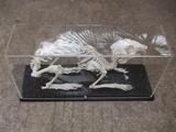 兔骨骼标本