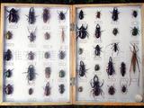大型甲虫四十种
