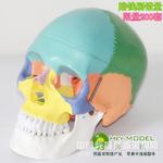 人体头骨模型 人体骨骼模型 骷髅模型 彩色头骨模型