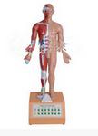 电动语言十四电动针灸模型 电动十四针灸模型  产品货号: wi114309
