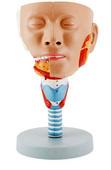 头与咽肌模型