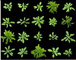 EHA105农杆菌感受态细胞