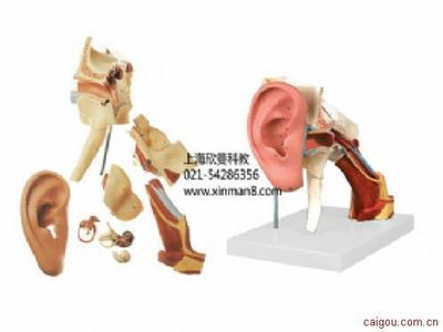 耳结构放大模型