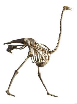 鸵鸟骨骼塑化标本