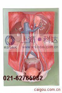 泌尿系统附腹后壁模型