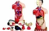 躯干模型(带头)*医用模型*人体解剖/临床/护理模型