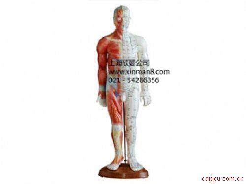 女性人体针灸模型带肌肉解剖