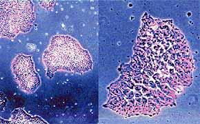 中科院细胞库供应 小鼠成纤维细胞株